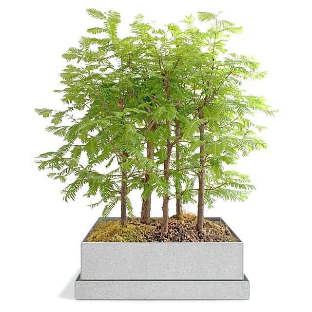 wedding gifts - bonsai